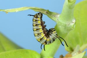 Caterpillar to Cocoon